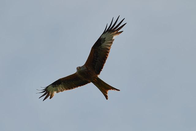 Rotmilan / Red Kite / (Milvus milvus)