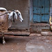 Old Delhi – An ox and a man