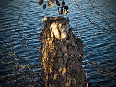 old cut tree near the lake