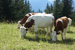 Vaches @ Arâches-la-Frasse