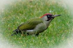 Pivert domestique / Home Woodpecker.