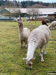 Llamas at Holly farm