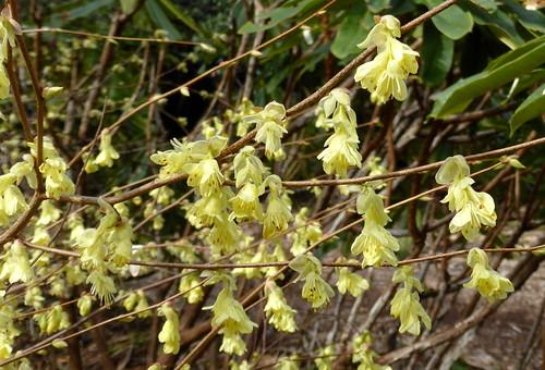 20150313_UBCBG_CorylopsisPauciflora_Cutler_P1160535