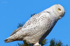 Snowy Owl, Bayone,
