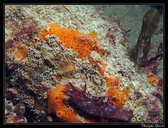 Lièvre de mer (Aplysia punctata)