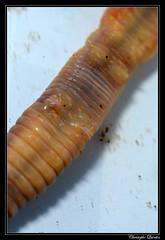 Lumbricus terrestris male pores