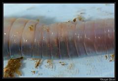 Lumbricidae male pores