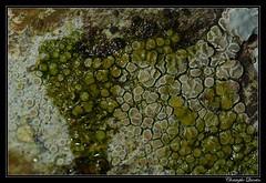 Lecanora chlarotera yellow K+ reaction