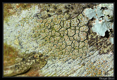 Lecanora chlarotera