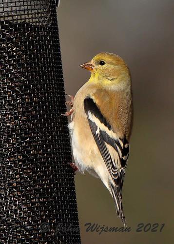 111_59914 goldfinch
