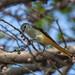 Female Small Minivet (Pericrocotus cinnamomeus) (DTHN0290)
