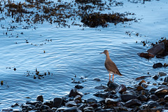 Redshank - Image Sequence