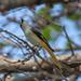 Female Small Minivet (Pericrocotus cinnamomeus) (DTHN0291)