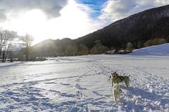 Les chiens de traineau - Plateau du Bénou sous la neige