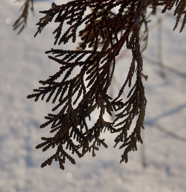 Photo:Thuja occidentalis 'Sherwood Frost' () Photo: F.D.Richards, SE Michigan, 2/2021 By F. D. Richards