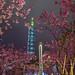 pink Sakura blossoms in Taipei