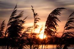 Reeds Wake-up