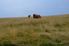 Vache @ Plateau du Semnoz