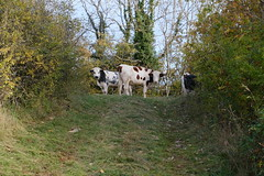 Vaches @ Montagne d'Âge