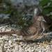 Zebra Doves or Barred Ground Doves (Geopelia striata) (DTHN0296)