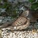 Zebra Dove or Barred Ground Dove Preening (Geopelia striata) (DTHN0297)