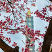pink Sakura blossoms in Taipei 台北櫻花季