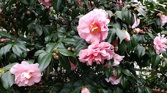 Camellia House at Planting Fields Arboretum During a Pandemic