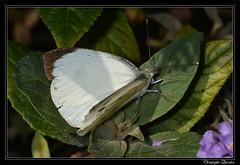 Piéride du choux (Pieris brassicae)