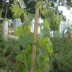 Plants des vignes 2013