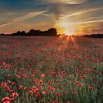Panshanger Sunset Poppies by Richard White