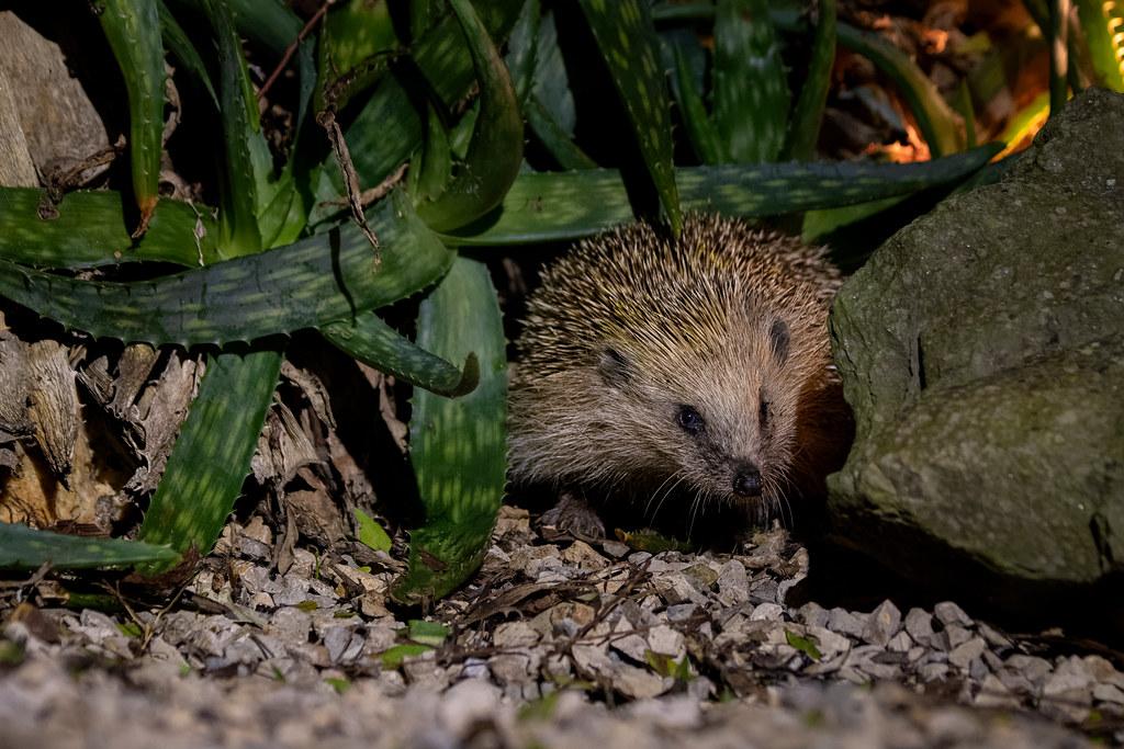 European Hedgehog - Ouriço-cacheiro - Erinaceus europaeus