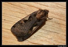 Le C noir (Xestia c-nigrum)