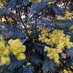 Mimose a febbraio - https://www.flickr.com/people/50078806@N00/