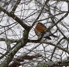 Robin Feb 16 21