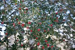 Holly berries Feb 16 21