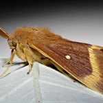 Lasiocampa quercus (Linnæus 1758) ♂ (Lepidoptera Lasiocampidæ Lasiocampinæ Lasiocampini) - https://www.flickr.com/people/132574141@N04/
