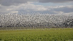 Snow geese are back