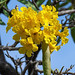 Golden Trumpet Tree with Seed Pod (Handroanthus chrysotrichus) (DTHN0308)