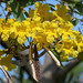 Golden Trumpet Tree with Empty Seed Pod (Handroanthus chrysotrichus) (DTHN0309)