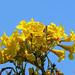 Golden Trumpet Tree (Handroanthus chrysotrichus) (DTHN0307)