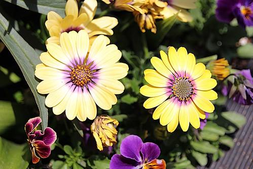 Allan Gardens Conservatory ~ Toronto Ontario - Canada - Yellow  Beauty