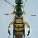 Chorisops tibialis (Meigen 1820) ♀ (Diptera Stratiomyidæ Beridinæ Beridini) - https://www.flickr.com/people/132574141@N04/
