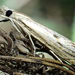 Agriphila tolli (Bleszynski 1952) ♀ (Lepidoptera Crambidæ Crambinæ Crambini) - https://www.flickr.com/people/132574141@N04/