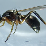 Nemopoda cf nitidula (Fallén 1820) (Diptera Sepsidæ Nemopodatinæ Nemopodatini) - https://www.flickr.com/people/132574141@N04/