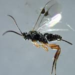 Apanteles galleriæ Wilkinson 1932 ♀ (Hymenoptera Braconidæ Microgastrinæ Apantelini) - https://www.flickr.com/people/132574141@N04/