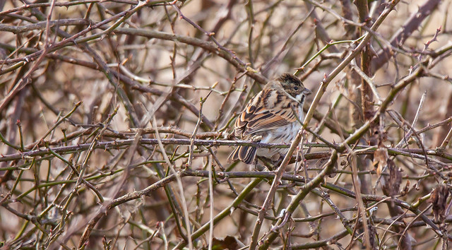Expert Camouflage - Reed Bunting