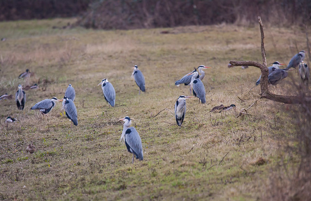 A 'Siege' of Grey Heron on Berry Fen.