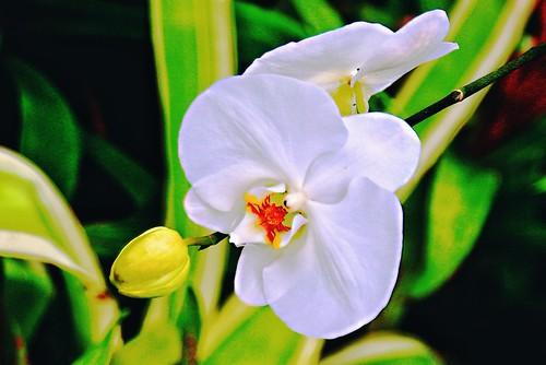 Allan Gardens Conservatory ~ Toronto Ontario - Canada - White Orchid