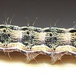 Hadeninæ sp larva (Lepidoptera Noctuidæ) - https://www.flickr.com/people/132574141@N04/
