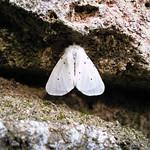 Diaphora mendica (Clerck 1759) ♀ (Lepidoptera Erebidæ Arctiinæ Arctiini Spilosomina) - https://www.flickr.com/people/132574141@N04/